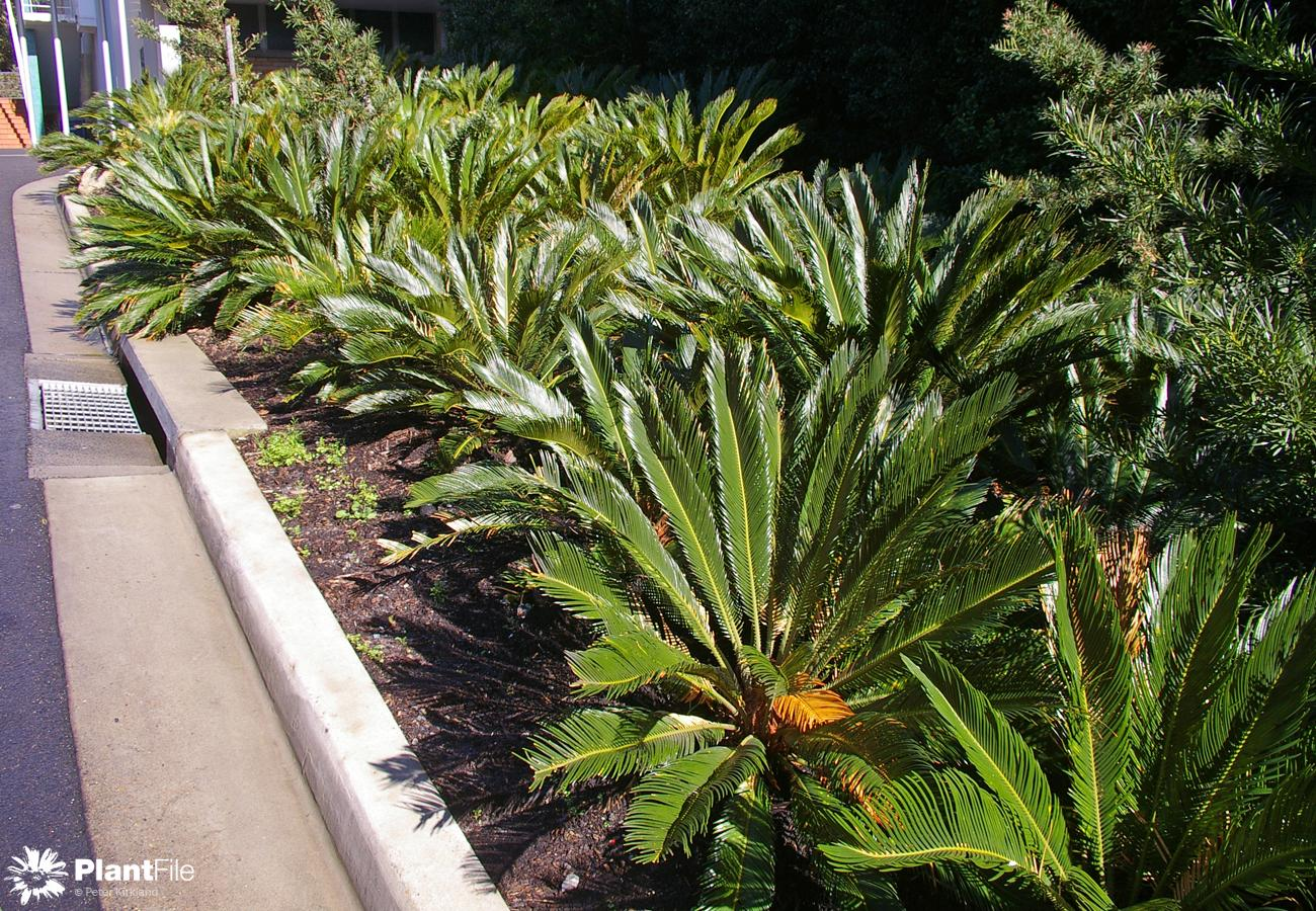 Was naked axil cycads